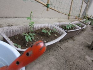 収穫も楽しみなグリーンカーテン